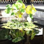 Pond with lily pads reflected